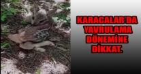 KARACALAR'DA YAVRULAMA DÖNEMİNE DİKKAT.